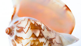 Vỏ ốc sọ dừa (Noble Volute)