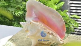 Vỏ ốc bẹ hồng (Pink Conch Shell)
