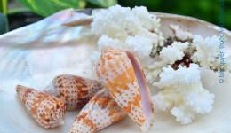 Vỏ ốc cối bông xám (Colur Conus)