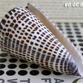 Vỏ ốc cối đầu tím (Lettered Cone Shell)