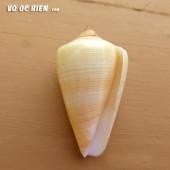 Vỏ ốc cối sọc vàng (Multilinear Cone)