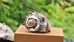 Vỏ ốc đá mũ vua (Pacific Crown Conch)