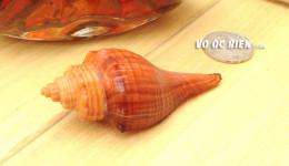 Vỏ ốc đùi gà dài (Spiral Melongena)