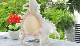 Vỏ ốc gai trắng (Ramosus Murex Seashell)