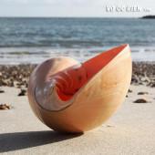 Vỏ ốc gáo (Melo Melo Indian Volute Shell)