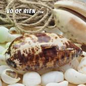 Vỏ ốc heo bông (Turtle Cowry)