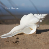 Vỏ ốc mỏ chim Un-da-tus (Wawy Spindle)