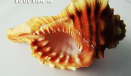 Vỏ ốc mỏ két đỏ (Pear Triton)