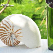 Vỏ ốc mực anh vũ (Chambered Nautilus)