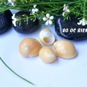 Vỏ ốc ngọc cẩm thạch cam (Orange Moon Snail)
