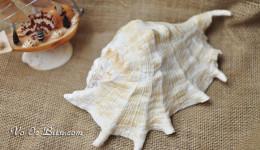 Vỏ ốc tai be ria (Common Spider Conch)