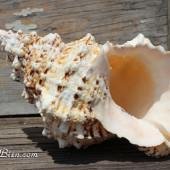 Vỏ ốc tù và gai (Bursa Bobo Seashell)