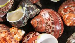 Vỏ ốc xà cừ đỏ (Tapestry Turban)