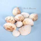 Vỏ sò dương đốm (Prickly Cockle Sea Shells)