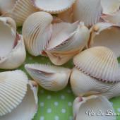 Vỏ sò dương trắng (Prickly Cockle Sea Shells)
