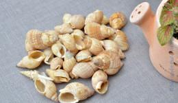 Vỏ ốc bùn glan (Glans Nassa)