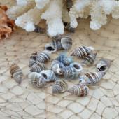 Vỏ ốc bùn (Necklace Nassa)