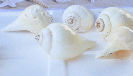 Vỏ ốc cối vàng chanh (Great Indian Chank)