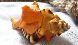 Vỏ ốc mỏ két cam(Black-striped Triton)