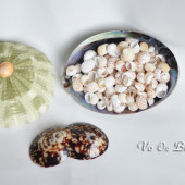 Vỏ Ốc Mỡ Vạch (China Moon Shell)