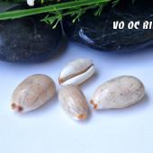 Vỏ ốc nga đà (Isabelle Cowrie)