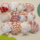 Vỏ điệp quạt trắng nâu (Brown Scallop Shells)