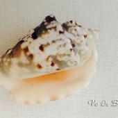 Vỏ ốc bàn tay đốm đen (Silver Conch Shells)
