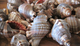 Vỏ ốc Hairy Triton Seashells