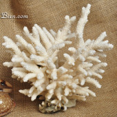 San hô Tree Coral sừng