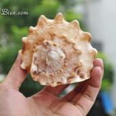 Vỏ ốc kim khôi vàng Baby (Yellow Helmet Baby Shell)