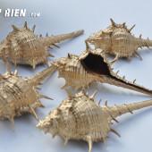 Vỏ ốc gai dài phủ nhũ