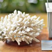 San hô Table Coral