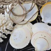 Vỏ điệp bơi trắng viền vàng (Japanese Moon Scallop)