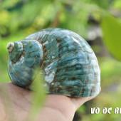 Vỏ ốc khảm xà cừ xanh nhỏ