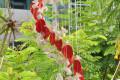 Chuông gió vỏ sò ốc lớn – phun màu CG17