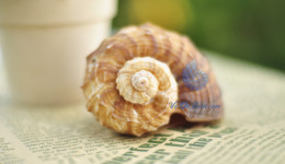 Vỏ ốc gáo Gastropod Seashell