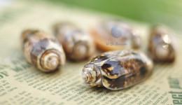 Vỏ ốc Olive Snails miệng cam (Orange-mouth Olive Snails)