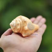 Vỏ ốc đùi gà vàng