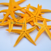 Sao biển nhí màu vàng (Yellow Mini Starfish)