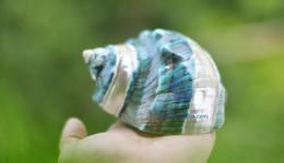 Vỏ ốc khảm xanh nhỏ kẻ vạch lớn (Pearl Banded Green Snail Shell)