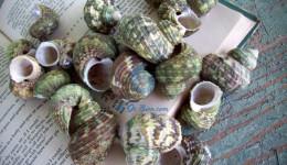 Vỏ ốc mặt trăng xanh (Green Turbo Shells)