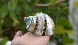 Vỏ ốc khảm xanh nhỏ kẻ vạch mảnh (Pearl Banded Green Snail Shell)