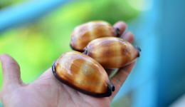 Vỏ ốc heo Chocolate (talparia talpa shell)