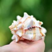 Vỏ ốc gai miệng hồng vân đen