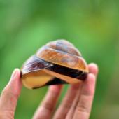 Vỏ ốc sên tròn lớn vàng sọc đen Polymita Picta