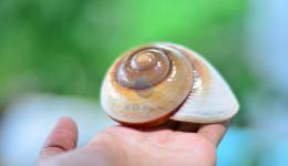 Vỏ ốc đất vằn trắng nâu (Polished Brown Land Snail Shell)