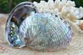 Vỏ bàu ngư vành tai xanh nâu