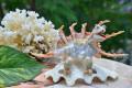 Khủng long sừng vỏ sò ốc QLN_27