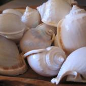 Vỏ ốc tỏi lớn (Bonnet Shells)