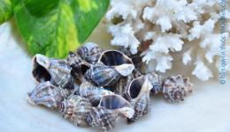 Vỏ ốc đá gai (Keeled Rock Shell)